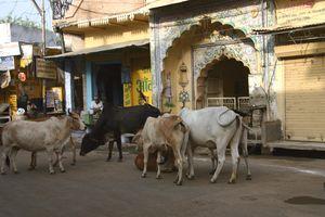 Vacas en el centro de la ciudad