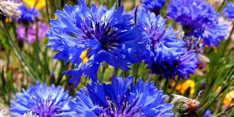 Cornflower, knapweed