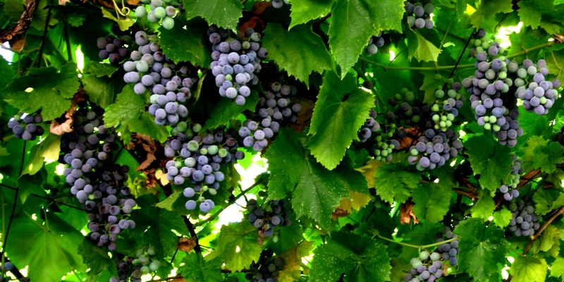 Grape, grape vine