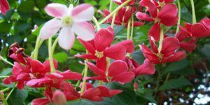 Burma creeper, rangoon creeper, red jasmine
